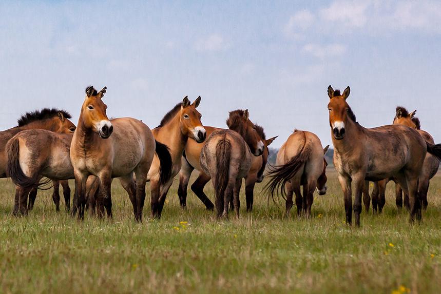 mongol horse